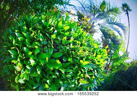 laurel bush on the south coast of the fisheye lens on a bright summer sun