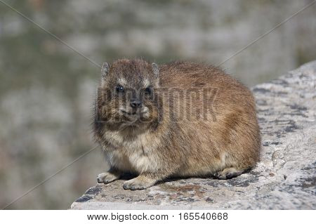 Chubby rock hyrax at Table Mountain in Cape Town, South Africa
