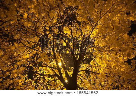 Tree with lot of yellow maple leaves on branches in the night