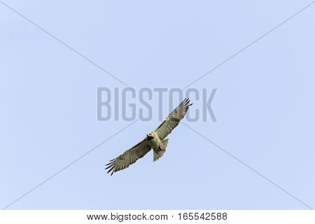 Intent Red-tailed Hawk gliding overhead wings spread