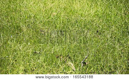 Beautiful of fresh green grass texture background in top view.