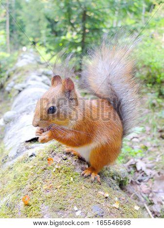 Cute squirrel eating a nut closeup. Side profile.