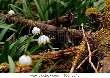 Beautiful blooming snowdrops in a forest clearing in the Carpathians in the sunlight at sunset.