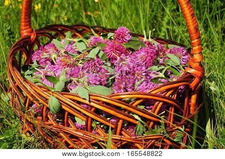 Trifolium pratense, the red clover flowers. Red clover is commonly used to make a sweet-tasting herbal tea. It is an ingredient in some recipes for essiac tea, organic herbal tea.