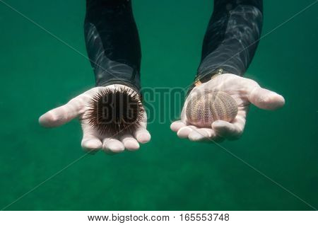 Hands of a diver offering live sea urchin and a sea urchin shell. Concept of complete opposites while both may be considered as bad choices. Live vs dead resistant vs fragile spikey vs smooth etc. Underwater shot selective focus. No animals harmed.