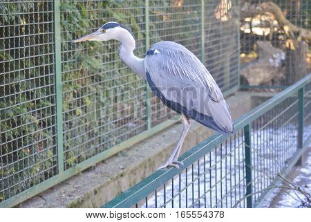 Grey heron (Ardea cinerea) looks into the animal cage. In Zagreb Zoo, Croatia.