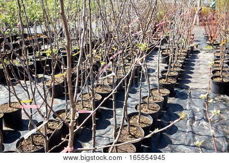 Many ornamental trees in the nursery plants in sunny day