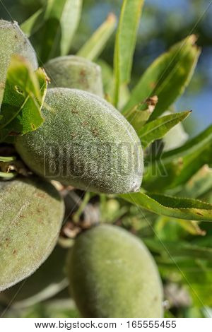 Detail of unripe almonds with their peel on branch, 2 months before being ready for harvest