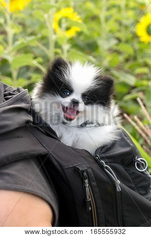 happy puppy in backpack at sun flower filed