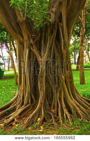 banyan tree trunk in asian vietnam park close up photo