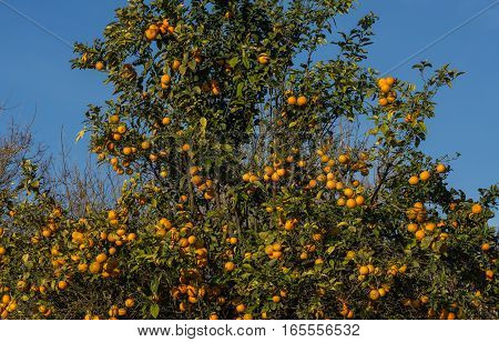 Wild orange tree with fruits. Citrus aurantiumen. Bitter orange. Blue sky background