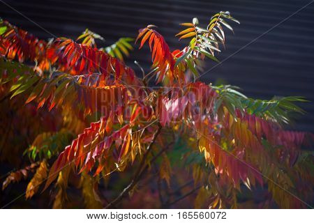 Taghorn Sumac (rhus Typhina) With Colorful Leaves In The Autumn