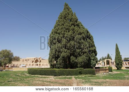 Old Cedar Tree, Abarkuh, Iran, Middle East, Asia