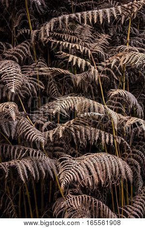 Dry leaves of the fern in shadow