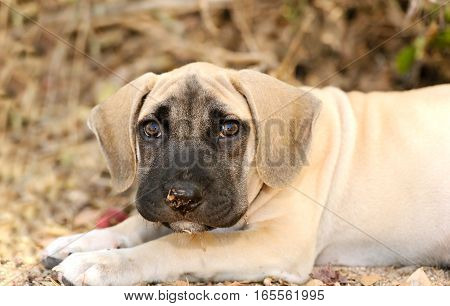 Sad puppy dog is a big adorable puppy with large brown eyes and a funny face outdoors in nature.