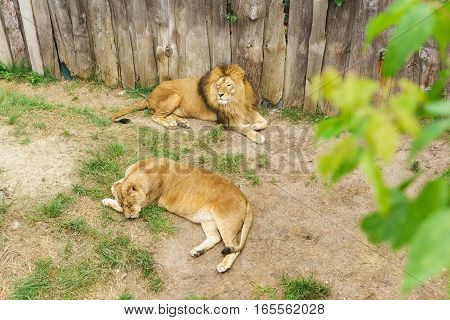 A pair of lions (lat. Panthera leo) is a carnivorous mammal of the genus Panther (Panthera) of the subfamily of large cats (Pantherinae) the cat family (Felidae)
