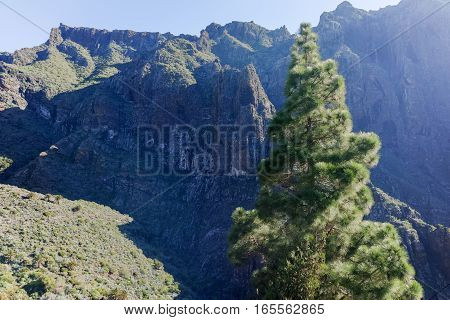 Nature in Masca Village Tenerife - Canarian pine trees and mountains