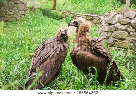 The black vulture or black vulture (Aegypius monachus) is a bird of the hawk family