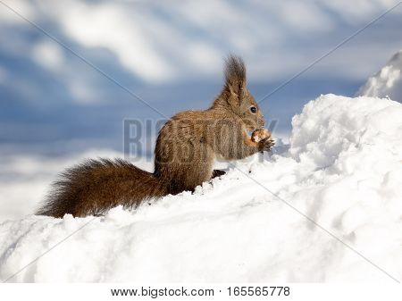 Squirrel in snow. Squirrels are members of the family Sciuridae a family that includes small or medium-size rodents.