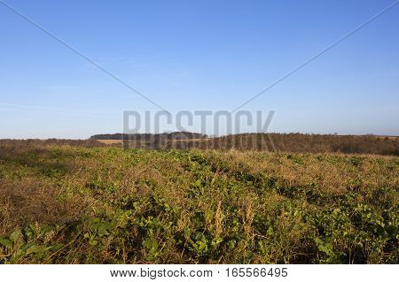pheasant and partidge cover with woodlands hills and hedgerows in a yorkshire wolds hunting landscape under a clear blue sky in winter
