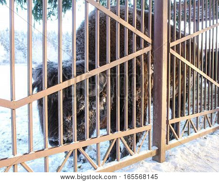 The mighty bison behind a fence. Wild animals in captivity in the open air.