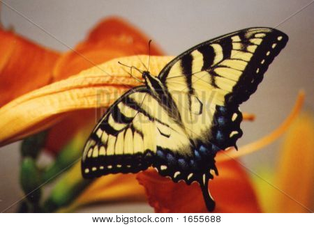 Butterfly Lily