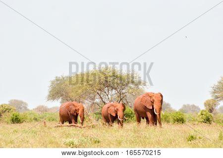 Three Red Elephants isolated in the savannah of Tsavo East Park in Kenya