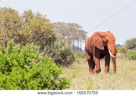 Red Elephants isolated in the savannah of Tsavo East Park in Kenya