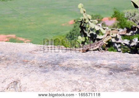 Lizard posing on a wall at the top of the savannah of Tsavo East in Kenya