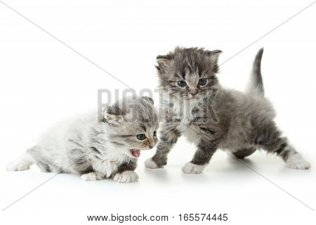 Small kittens isolated on a white background