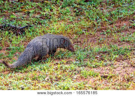 Wild ruddy mongoose or Herpestes smithii zeylanicus