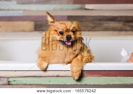 Wet little dog with one ear raised, sitting in the bathroom. Bathing pets