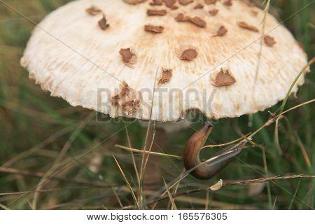 Slug eating mushroom. Macrolepiota procera. Arion lusitanicus.