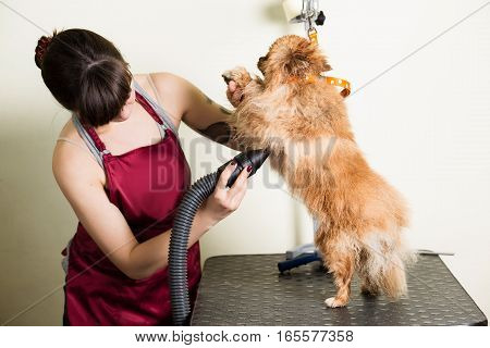professional woman drying wet dog, in the grooming salon. Making beautiful view of pet hair