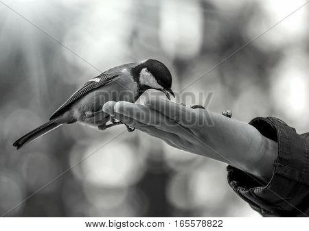 wild bird titmouse eats on the palm.