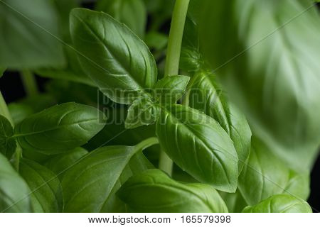 Basil Leafs On The Dark Background. Green Leaves Closeup. Aromatic Ingredient In Culinary, Raw For B