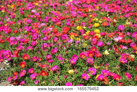 Colorful garden flowerbed of hogweed or Portulaca also known as moss roses as a background