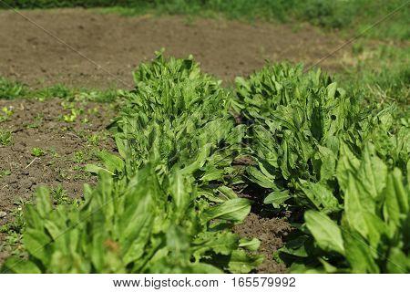 Sorrel Growing In The Vegetable Garden In Spring