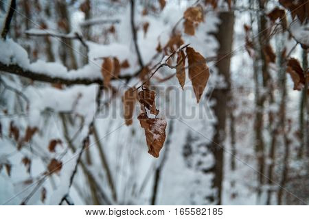 Leaves In Winter Covered In Snow