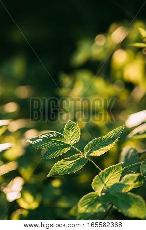 Branch Of Wild Forest Raspberries With Green Leaves In Summer Forest