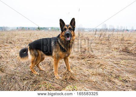German Shepherd Dog In A Spring Day