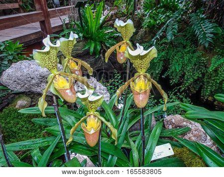 Silver Sword L.ady Slipper Rare Orchid