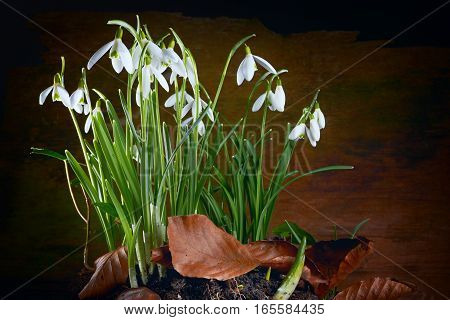 Spring baeutiful snowdrops flower on dark background
