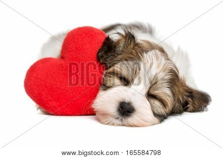 Lover Valentine Havanese puppy dog sleeping and dreaming with a red heart isolated on white background