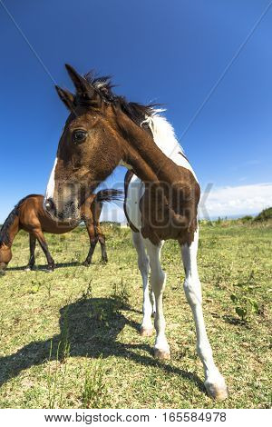 Brown horse and pinto foal grazing near the sea in Puglia (Italy)