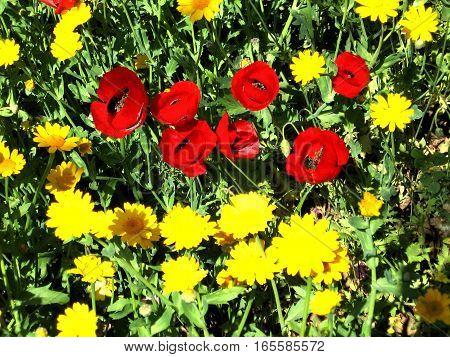 Carpet of daisies and poppies in park in Ramat Gan Israel April 4 2007