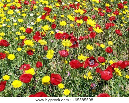 Poppies and daisies in park in Ramat Gan Israel April 4 2007