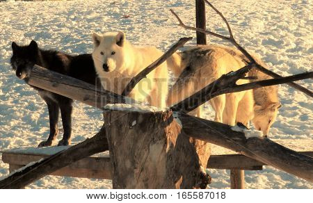 Some Gray Wolves standing on a platform around some dead  branches.