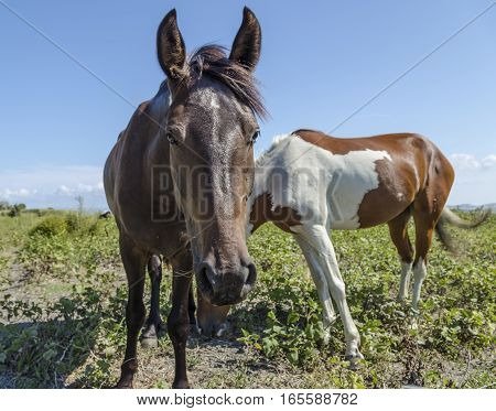Brown and pinto horses grazing near the sea in Puglia (Italy)