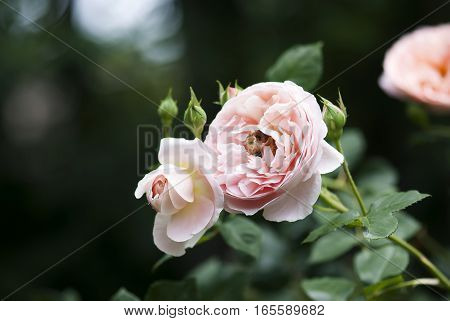 A light pink rose is pollinated by a bee on a warm summer evening.